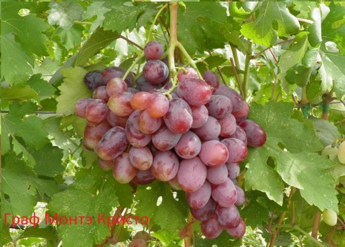 Виноград граф Монте Кристо - украшение дачного участка
