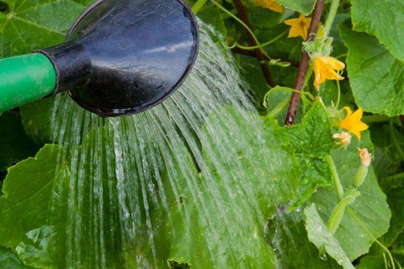 Выращивание и уход за кабачками в открытом грунте - как правильно поливать