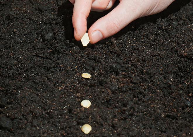 Высеиваем семена кабачка правильно
