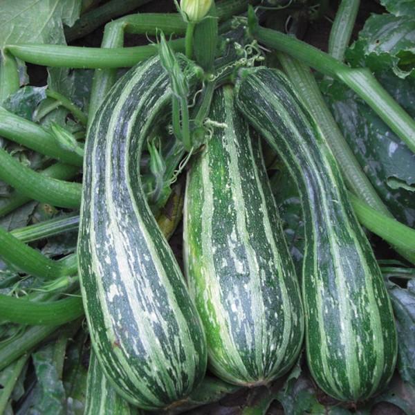 Высокоурожайный сорт кабачков для открытого грунта - Зебра