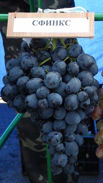 За и против посадки винограда Сфинкс в своем саду