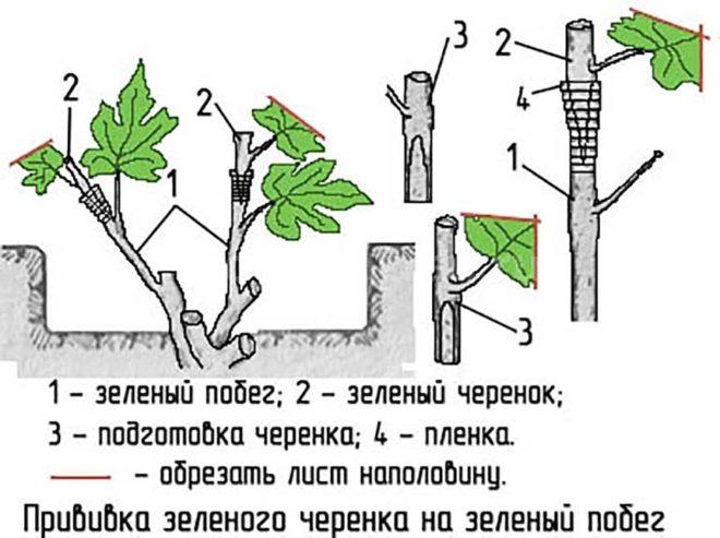 Зеленая прививка винограда - в какой срок выполнять