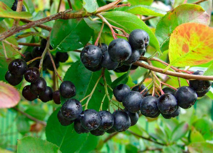 Чем подкормить аронию для улучшения плодоношения