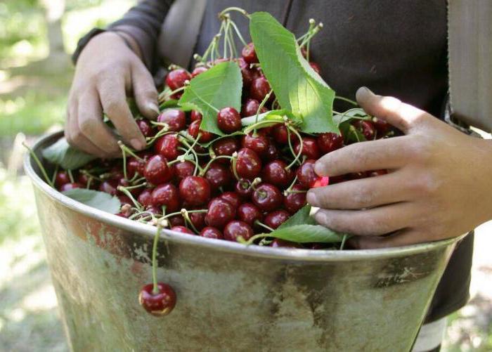 Чем подкормить черешню для повышения урожайности