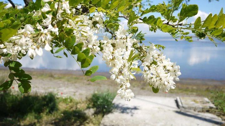 Черемуха - выращивание, посадка и уход, способы размножения, основные виды