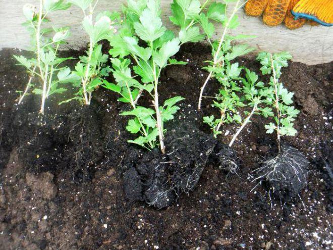 Что надо знать о размножении крыжовника зелеными черенками