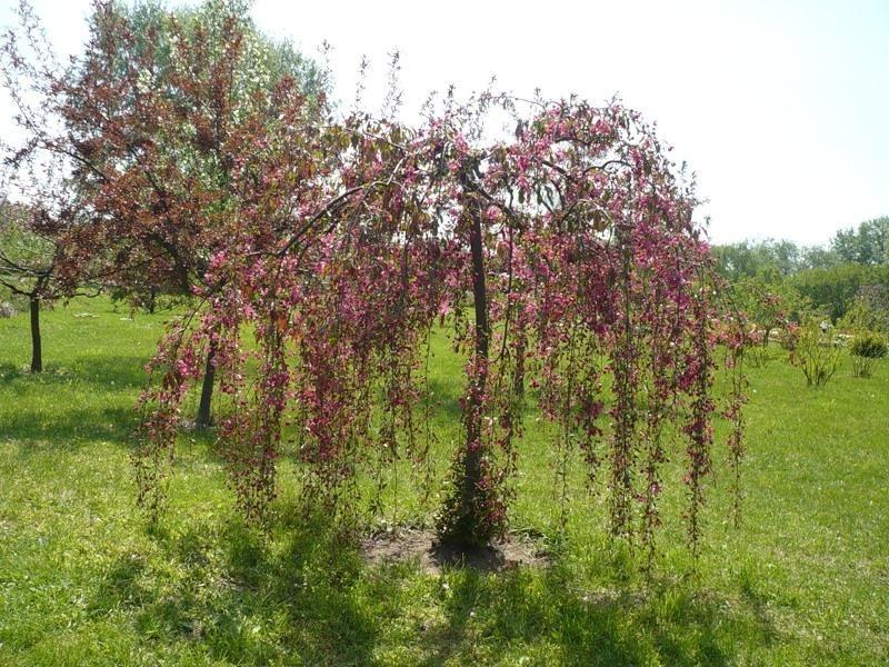 Декоративная яблоня плакучая красноцветная