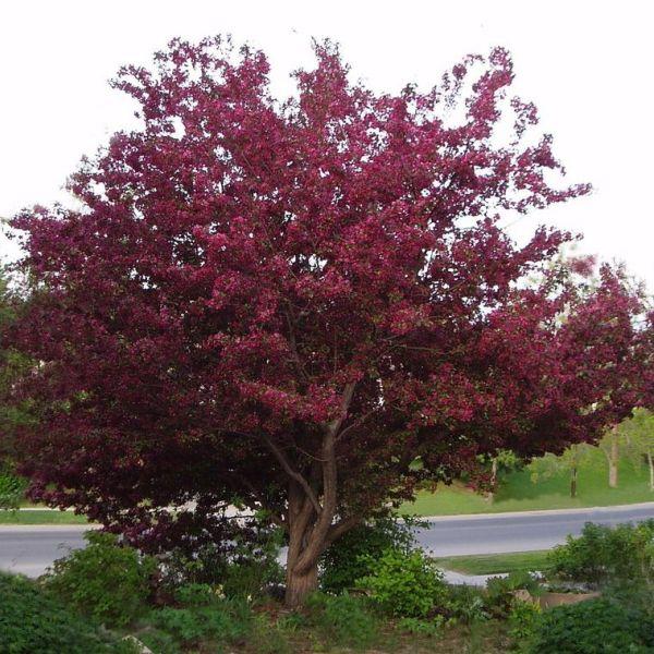 Декоративная яблоня с красными листьями - прекрасное украшение любого садового участка