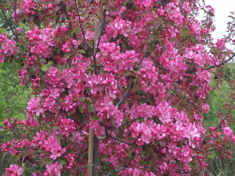 Декорирование загородного участка - посадка декоративной яблони