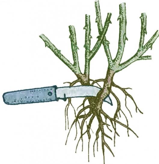 Деление куста - как метод размножения черноплодной рябины