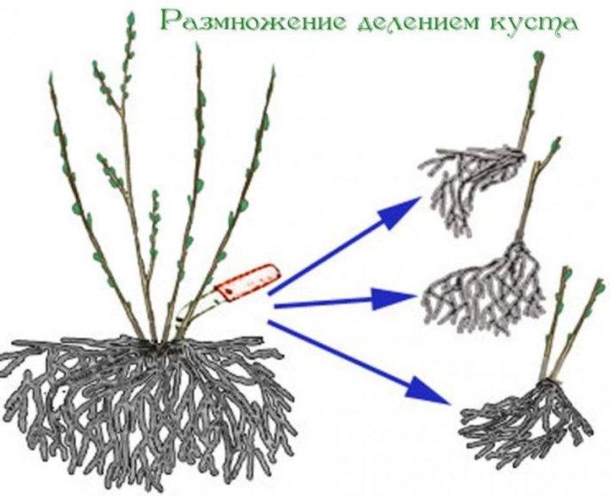 Деление куста - как способ размножения кустарника крыжовника