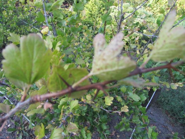 Эффективное выращивание крыжовника - описание кустов