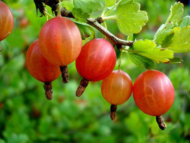 Эффективное выращивание крыжовника - основные правила хорошего урожая