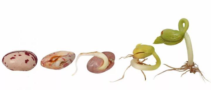 Этапы проращивания фасолины в домашних условиях