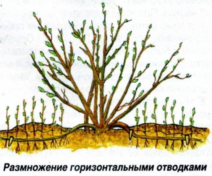 Горизонтальные отводки – один из способов размножения крыжовника
