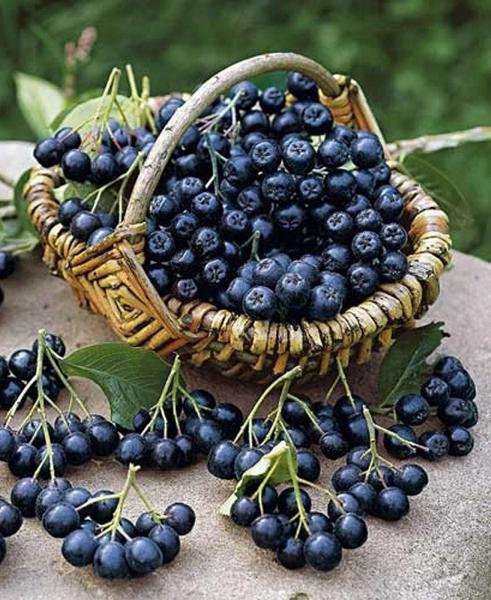 Химический состав и калорийность ягод черноплодной рябины