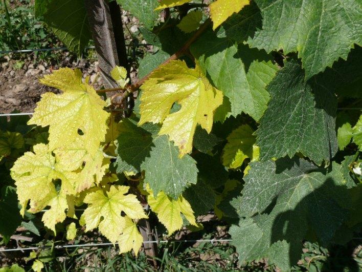 Хлороз винограда - чем вызвана болезнь, возможные причины