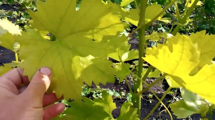 Хлороз винограда - как распознать заболевание