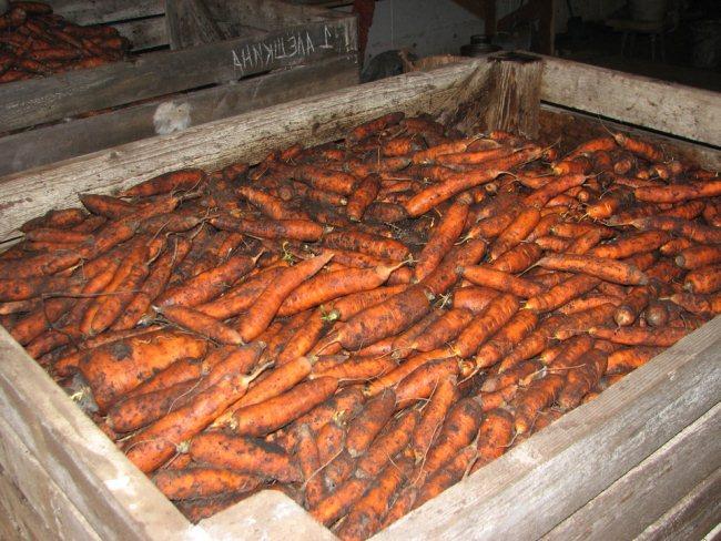 Хранение моркови - как создать оптимальные условия для длительного сохранения овоща