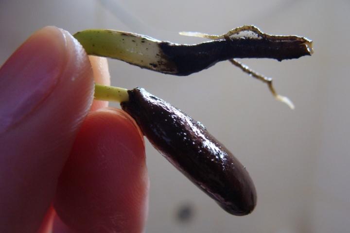 Как можно получить посадочный материал для проращивания деревца домашней хурмы
