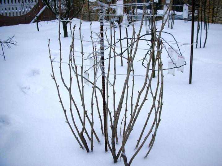 Как определить сроки осеннего укрытия и весеннего раскрытия малины