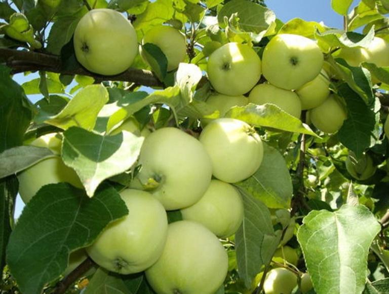 Как получить обильный урожай яблок белый налив