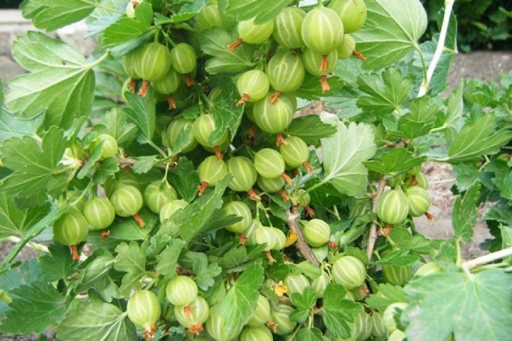Как получить обильный урожай ягод крыжовника