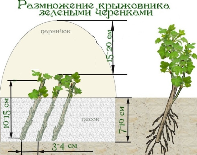 Как посадить крыжовник черенками - секреты дачников