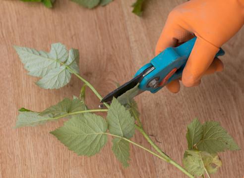 Как правильно заготовить зеленые черенки малины