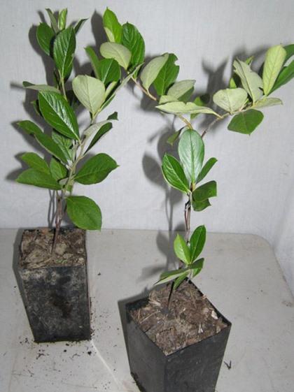 Как сажать черноплодную рябину - этапы работы