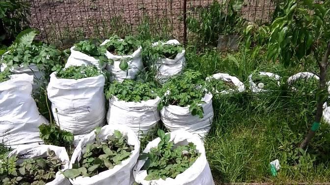 Как создать оптимальные условия для выращивания картофеля в мешках