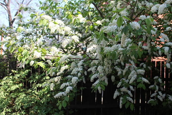 Как цветет белая черемуха