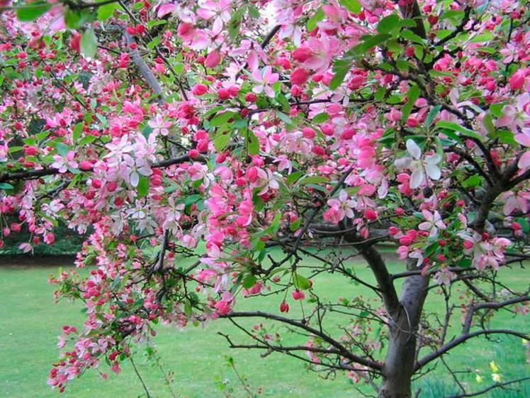 Как цветет декоративная яблоня