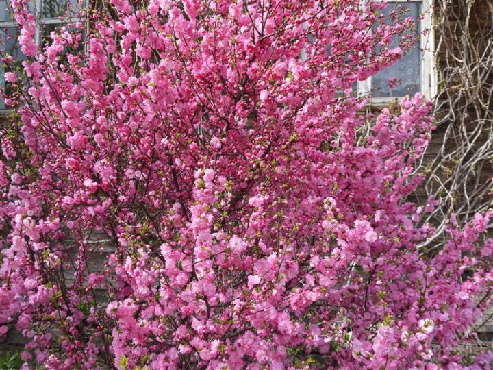 Как ухаживать за деревом сакуры на даче