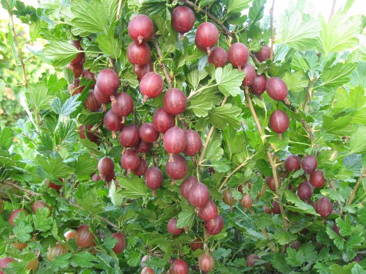 Как усилить плодоношение крыжовника - внесение подкормок