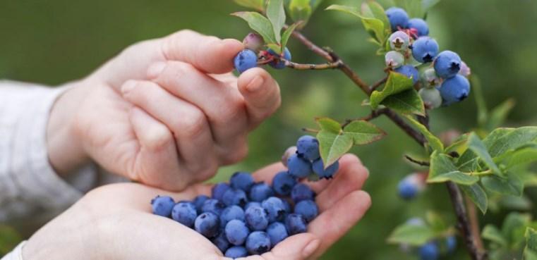 Какие полезные вещества, микроэлементы и витамины содержит свежая черника
