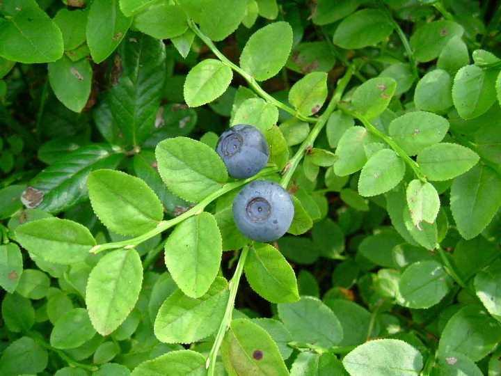 Какие полезные вещества содержатся в листьях черники