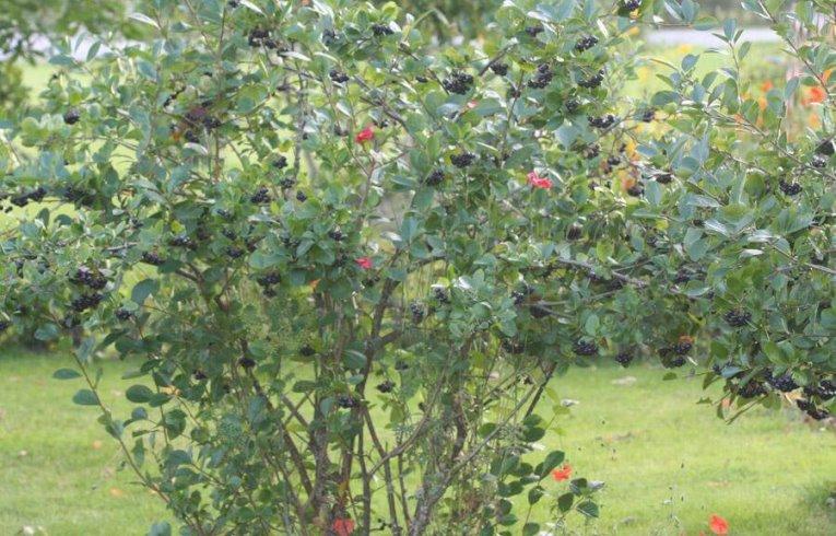 Какие условия нужны для выращивания черноплодной рябины
