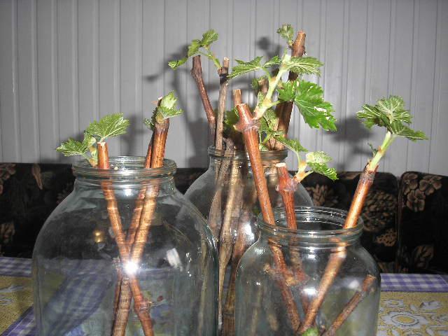 Какому способу отдать предпочтение при выборе метода размножения черной смородины