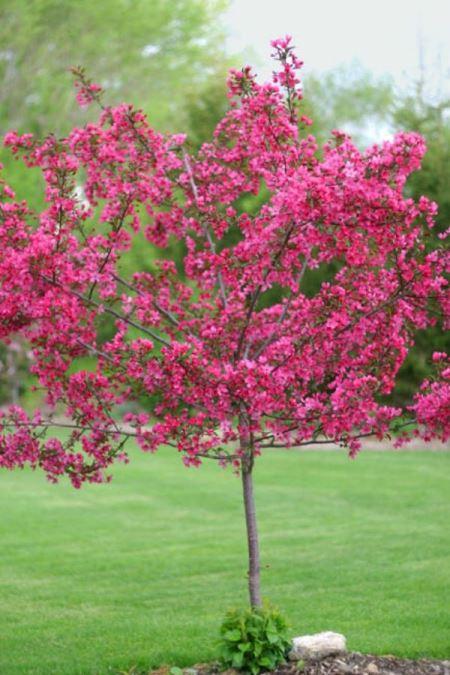 Карликовое деревце декоративной яблони сорта Роялти