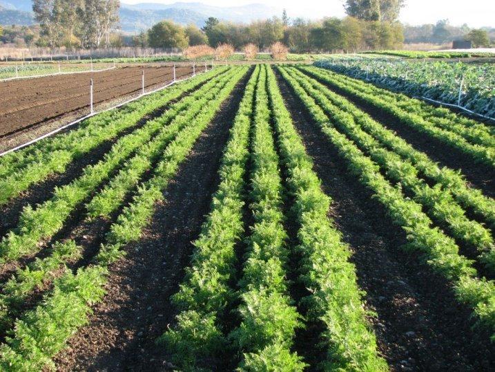 Когда сажать морковь в открытый грунт, как ухаживать