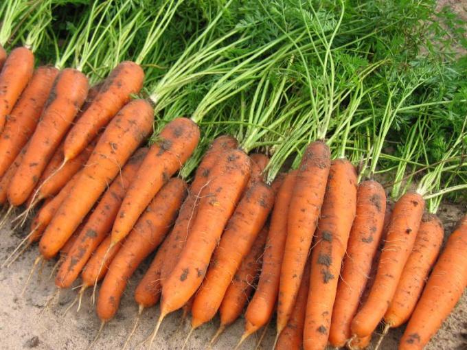Когда убирать морковь с грядки - уход и сбор урожая