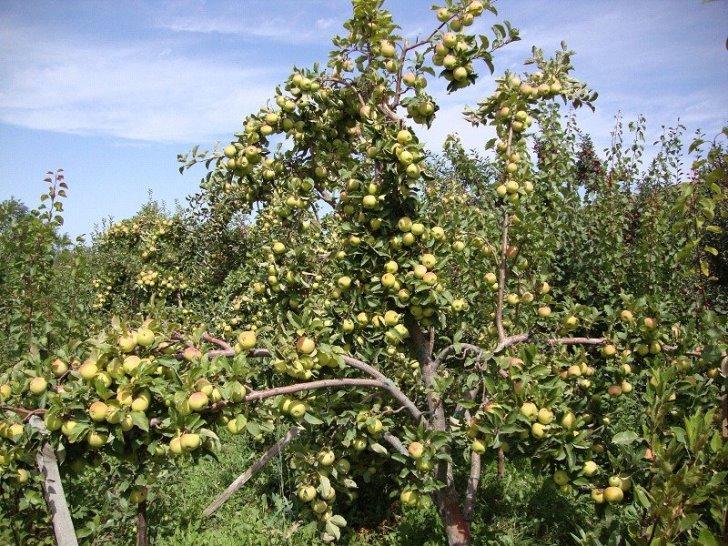 Когда ждать первый урожай яблок белый налив