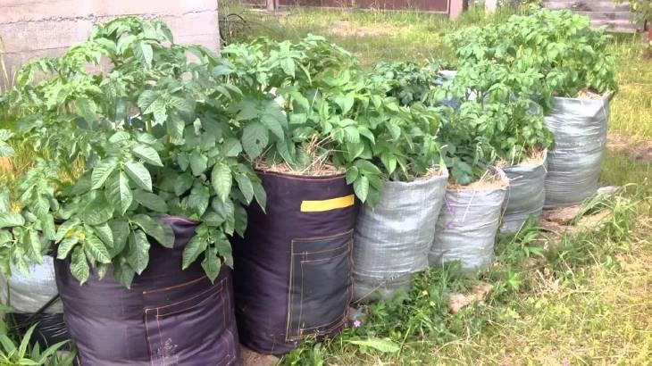 Кому подходит метод выращивания картофеля в мешках