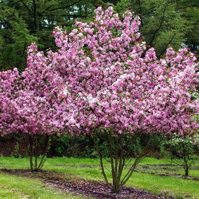 Красивое декоративное деревце с шарообразной кроной - яблоня Рудольф