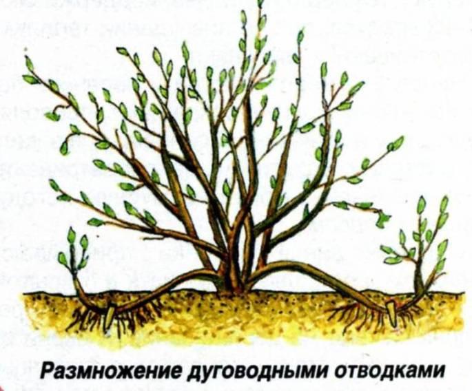 Крыжовник размножение дуговидными отводками
