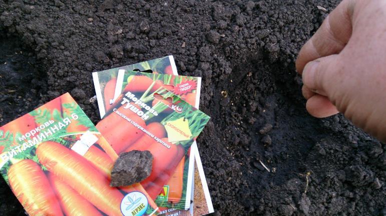 Лучшие сроки посадки моркови в зависимости от климатических условий и региона произрастания