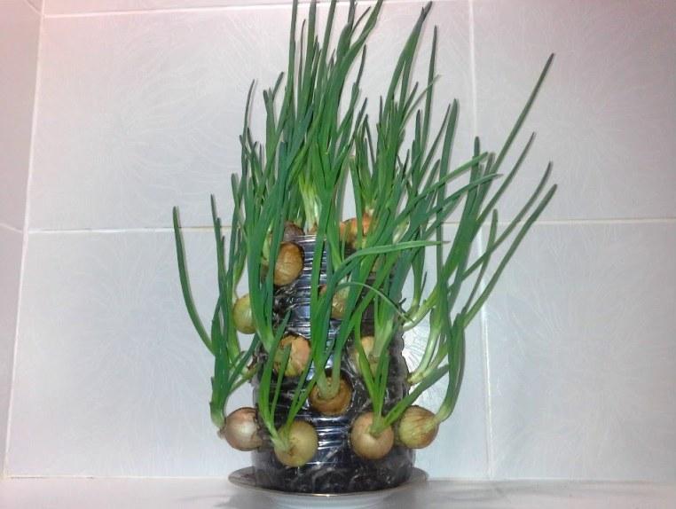 Лук на перо - выращиваем зелень в пластиковой бутылке