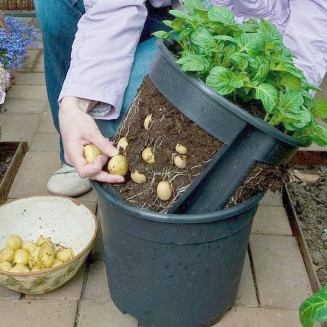 Модернизированный способ выращивания картошки в ведре