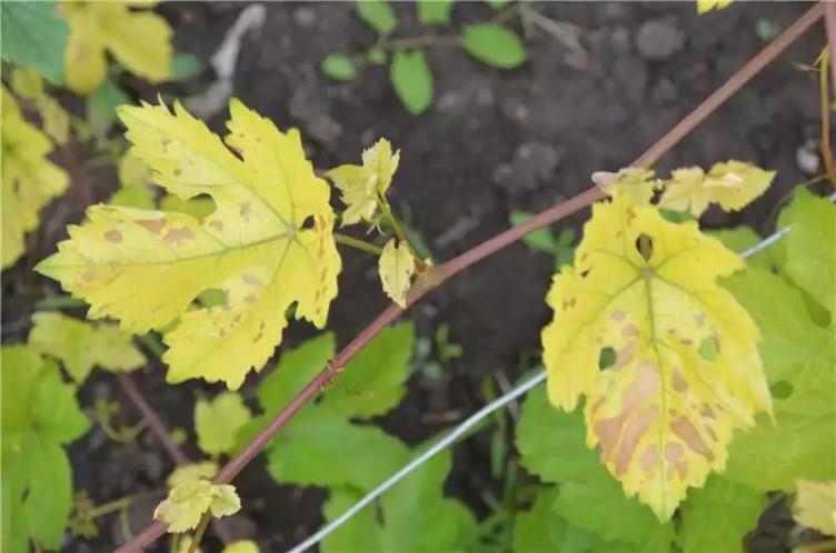 Можно ли вылечить хлороз винограда - способы борьбы с болезнью